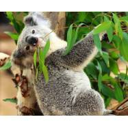 Eucalyptus Solubarôme